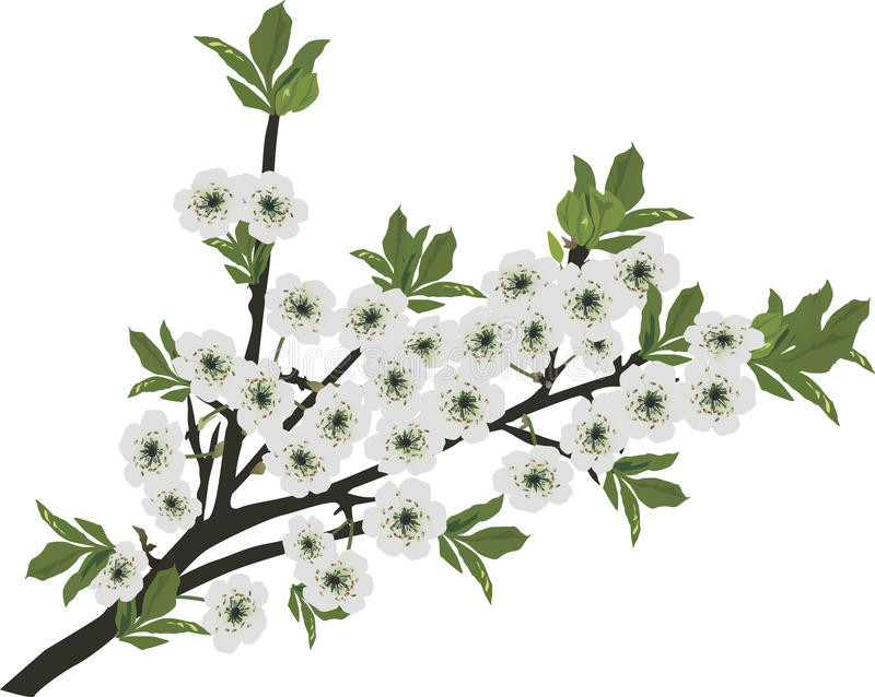 White Sakura Isolated Branch Royalty Free Stock Images