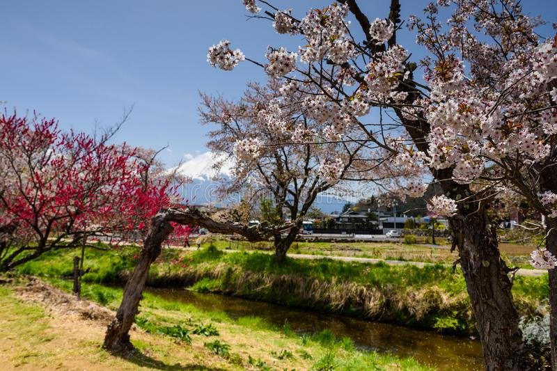 white sakura with mount Fuji, Yamanashi stock photos