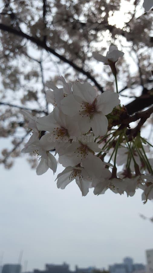 White Sakura royalty free stock photos