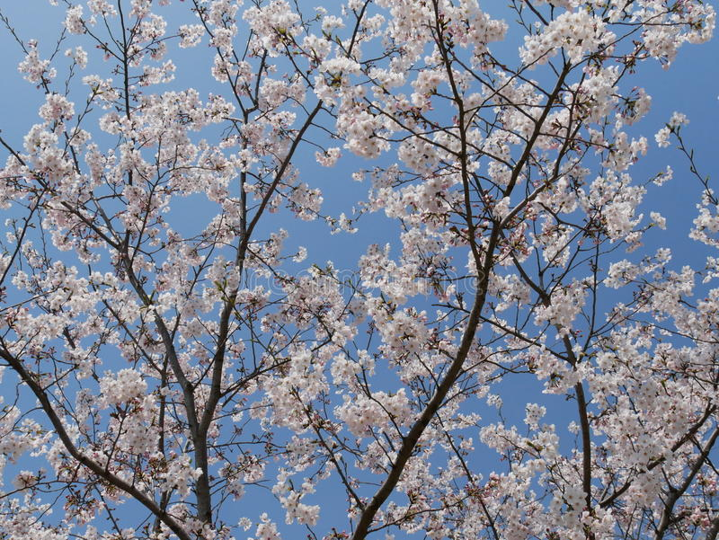 White sakura tree in full bloom royalty free stock photography