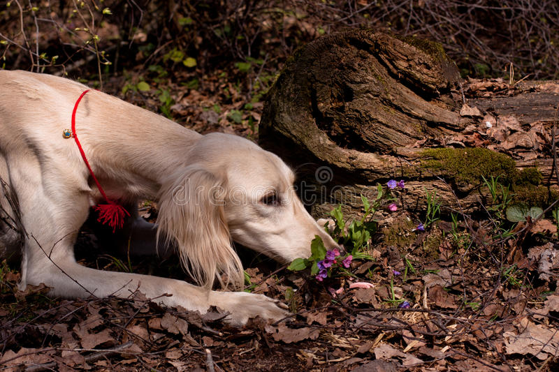 White saluki. A lying young white saluki smell flowers in a spring forest royalty free stock photo