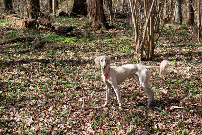 White saluki. A standing young white saluki in a spring forest royalty free stock images
