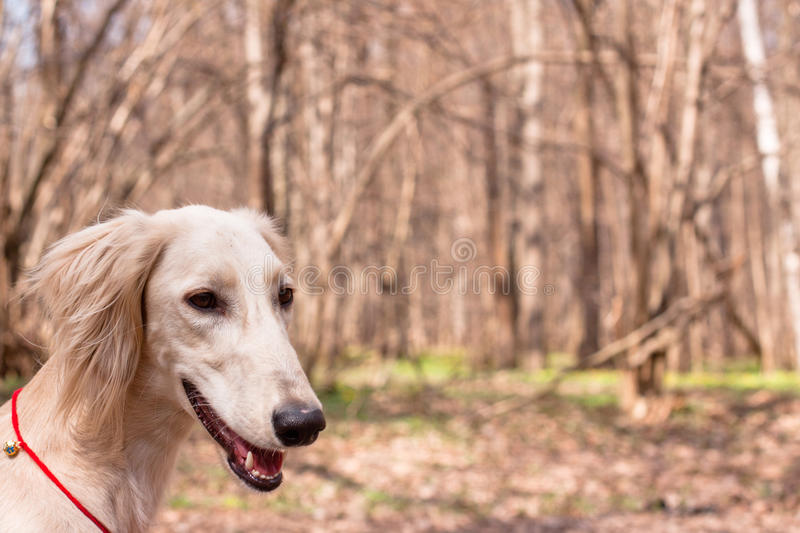 White saluki. A portrait of young white saluki in a spring forest royalty free stock photo