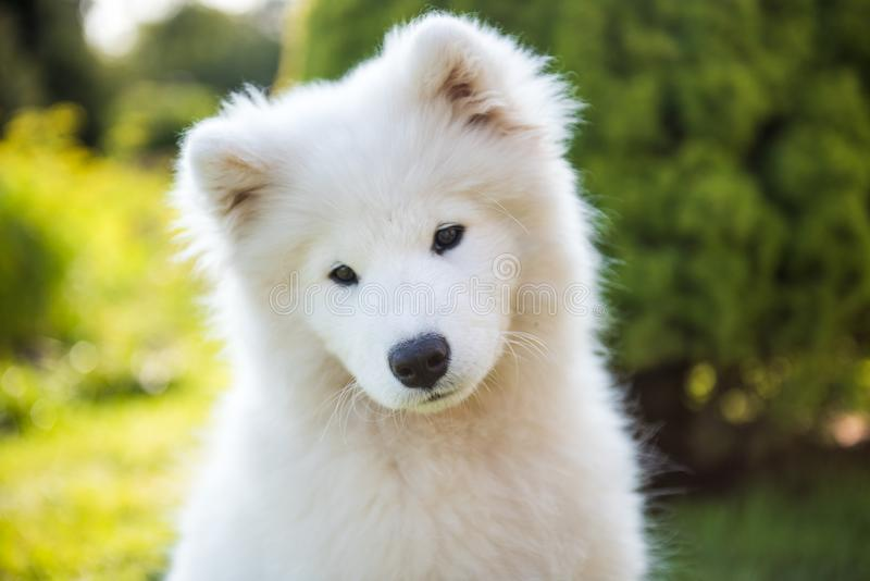 White Samoyed puppy dog muzzle in the garden on the green grass royalty free stock images