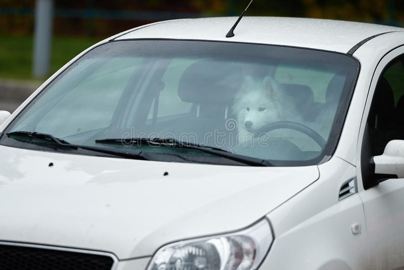 White samoyed sitting in car, copy space. Dog left alone in locked car. Abandoned animal in closed space. Danger of pet. Overheating, cute, breed, outdoors royalty free stock photos