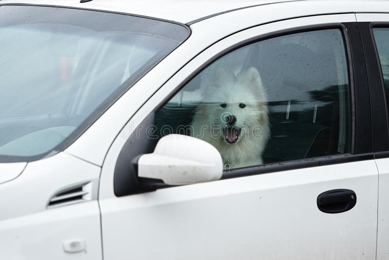 White samoyed sitting in car, copy space. Dog left alone in locked car. Abandoned animal in closed space. Danger of pet. Overheating, cute, breed, outdoors stock image