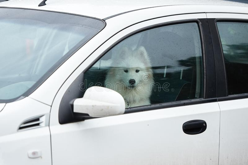 White samoyed sitting in car, copy space. Dog left alone in locked car. Abandoned animal in closed space. Danger of pet. Overheating, cute, breed, young royalty free stock photo