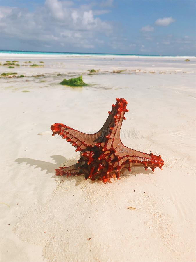 on the white sand of the ocean a beautiful red starfish royalty free stock images