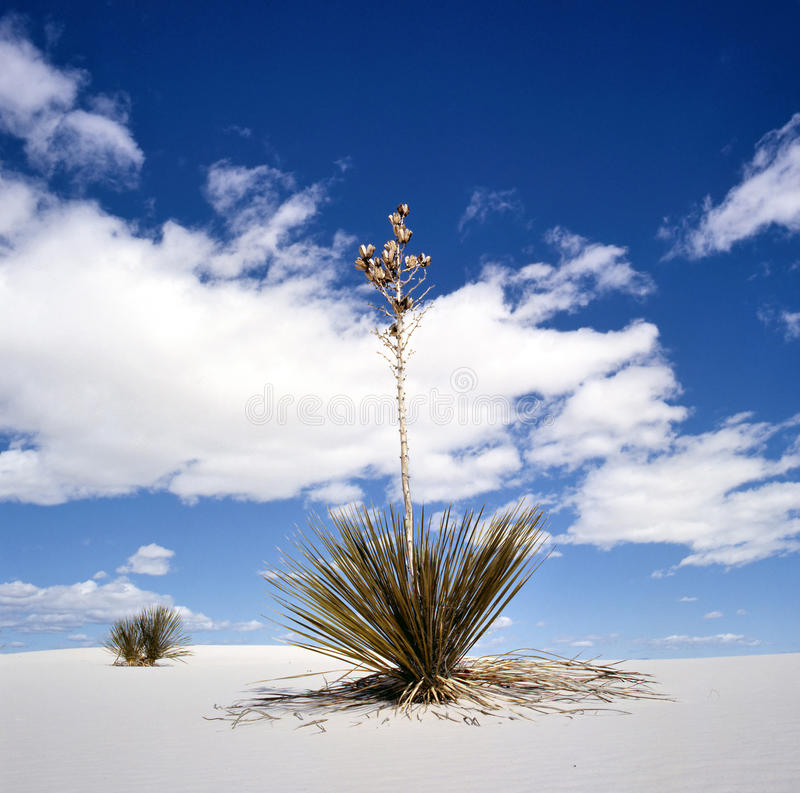 White Sands National Monument, New Mexico, USA. With Yucca royalty free stock photo