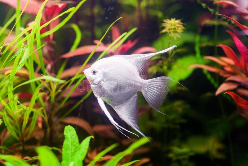 White Scalare Angelfish swimming underwater in beautiful fresh aquarium near green plant. royalty free stock photography