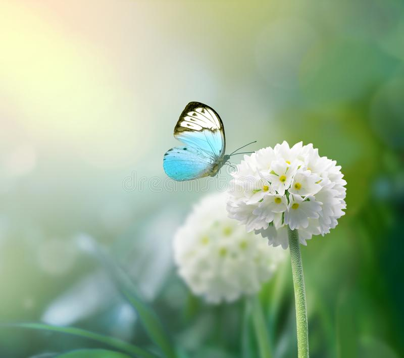 White scope flowers with green grass background and butterfly.  stock images