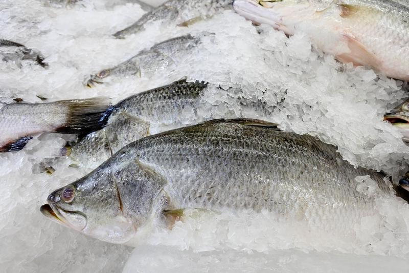 White sea bass on the ice. Good cooking and quality. Ingredients must be fresh to the taste of the food royalty free stock photos