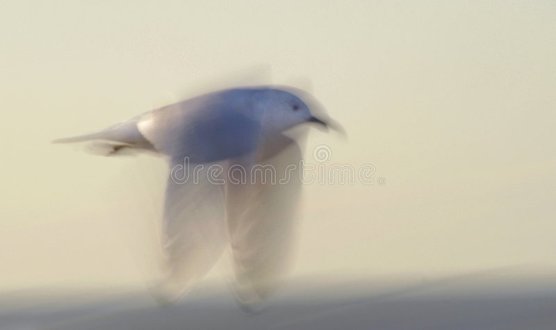 White sea bird flying in a slow shutter blur shot. royalty free stock photos
