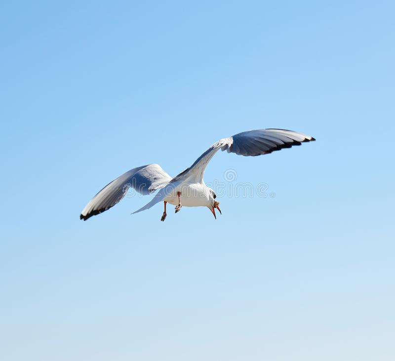 White sea gull flies in the sky. Summer sunny day stock photo