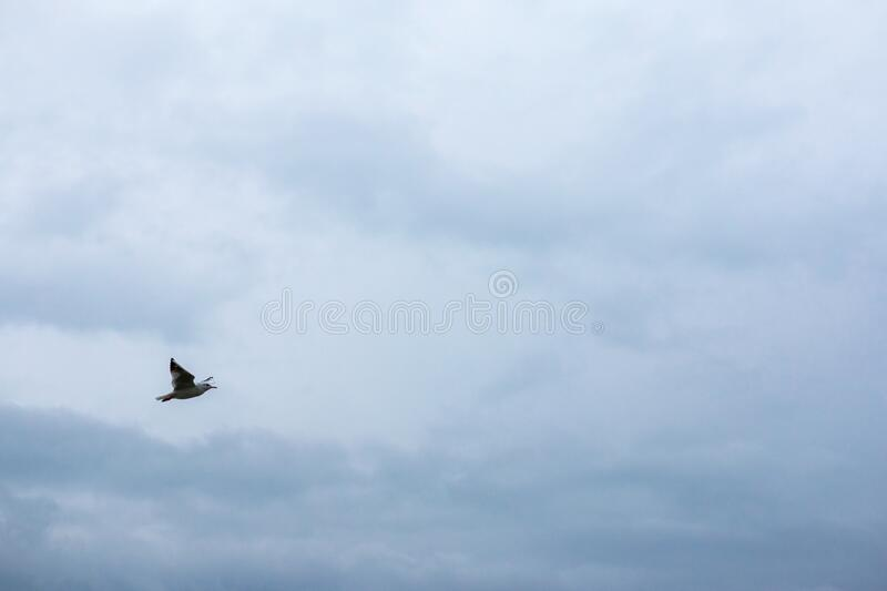 White sea gulls fly across the cloudy sky.  royalty free stock image