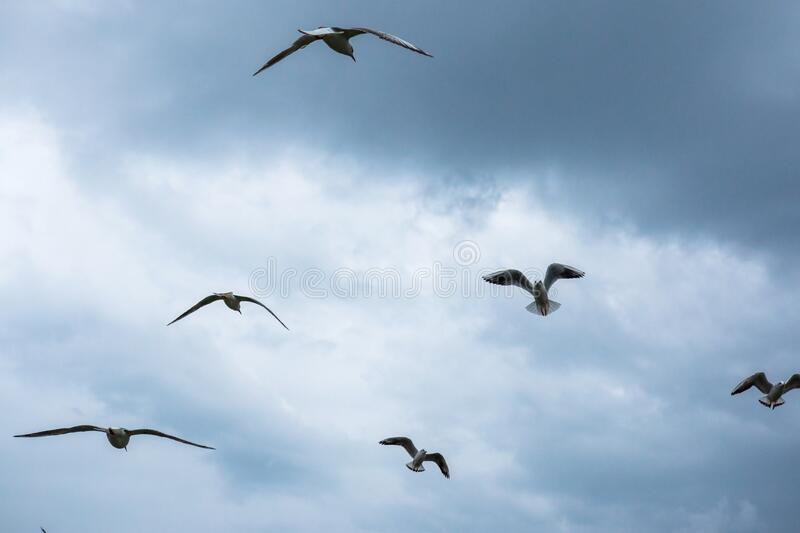 White sea gulls fly across the cloudy sky.  stock photography