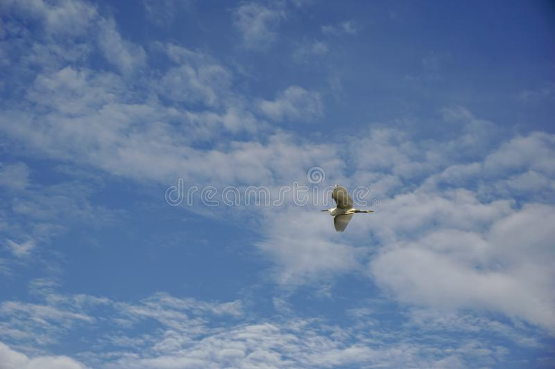 White seabirds, black mouth and legs are flying in the blue sky with white clouds.  stock photos