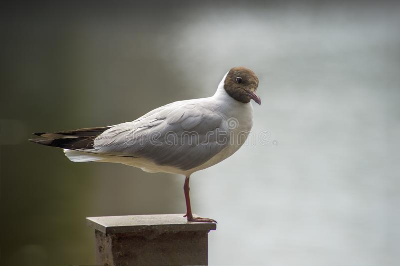 White Seagull with black head royalty free stock image
