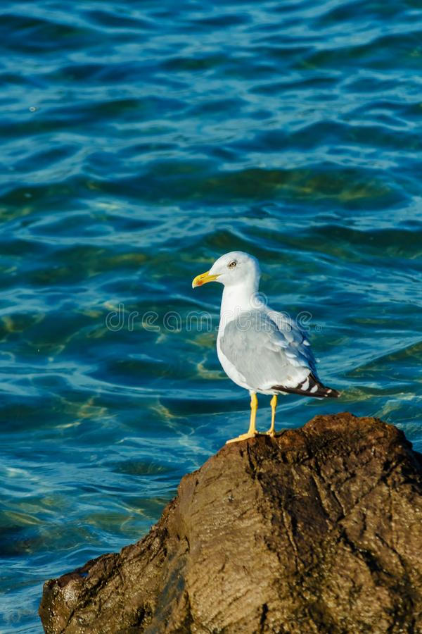 White Seagull with black wing tips sitting on the rocks in the Black sea. Cormorant landing on cliff in summer sunny day. Bird. Looks at calm waters. Place for royalty free stock photography