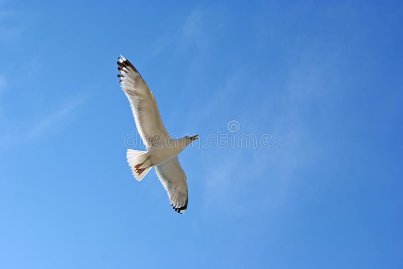 Flying gull royalty free stock image