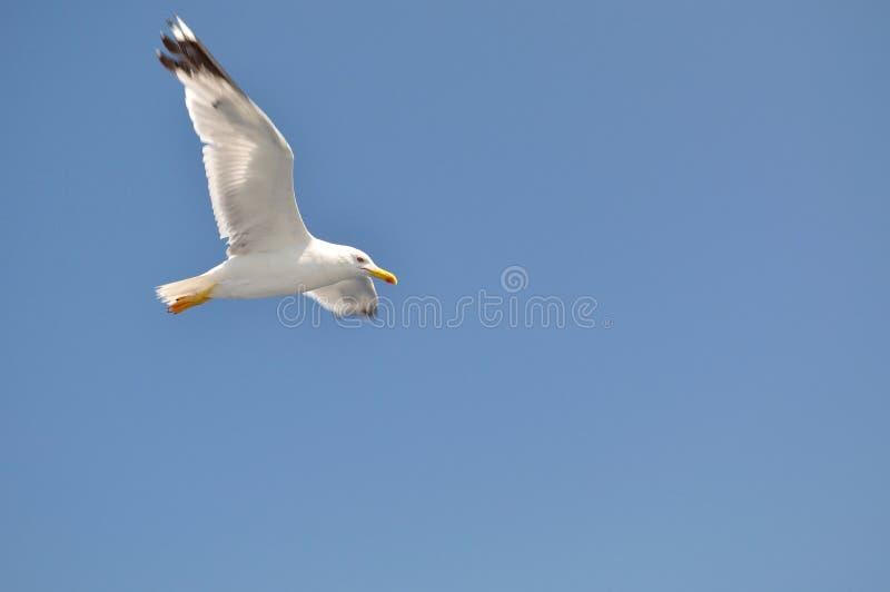White Seagull flying against blue sky stock photo