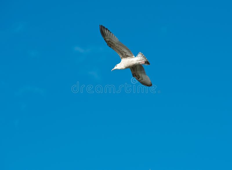 White Seagull Flying In The Blue Sky, One Seagull In Blue Background, Flying Bird In The Sky,white Isolated Bird In The Blue Sky Stock Photos
