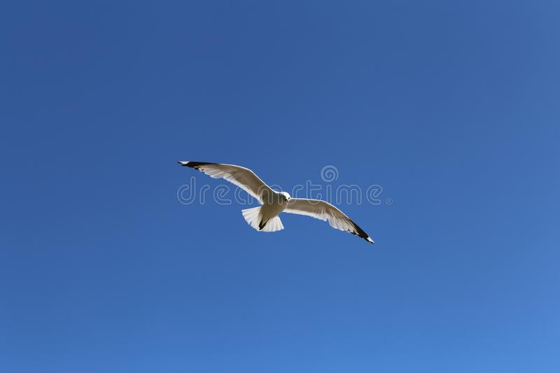 White Seagull Flying in Clear Blue Sky, Low Angle View stock photography