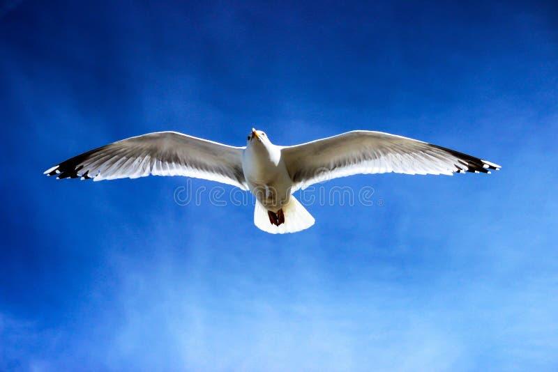 White Seagull Flying on Sky stock image