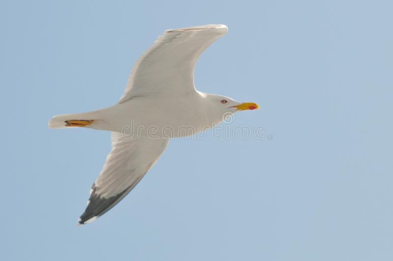 White Seagull Flying Under Clear Blue Sky stock photo