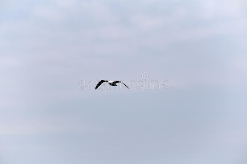 White Seagull Flying Under Gray Sky stock photography