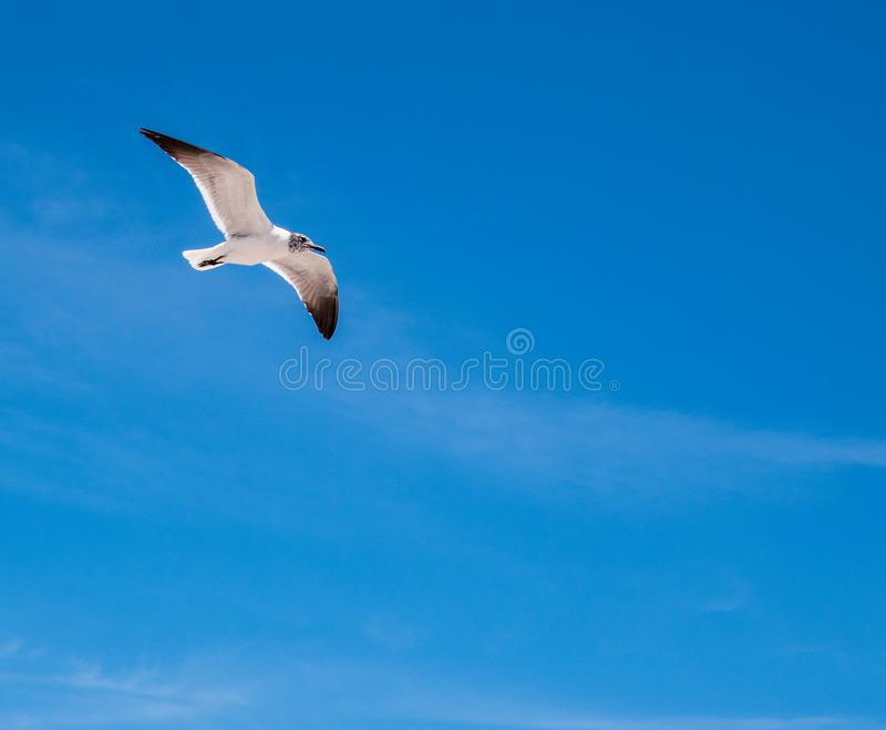White seagull with gray head and black wing tips on blue sky background royalty free stock image