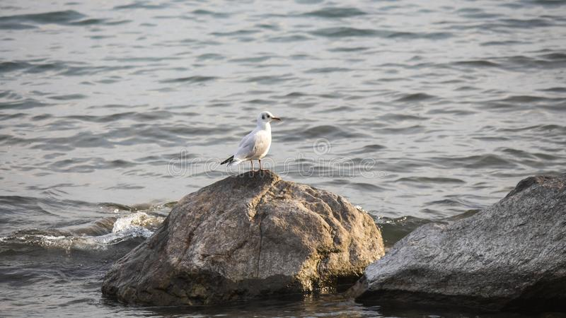 White seagull on the lake stock photography