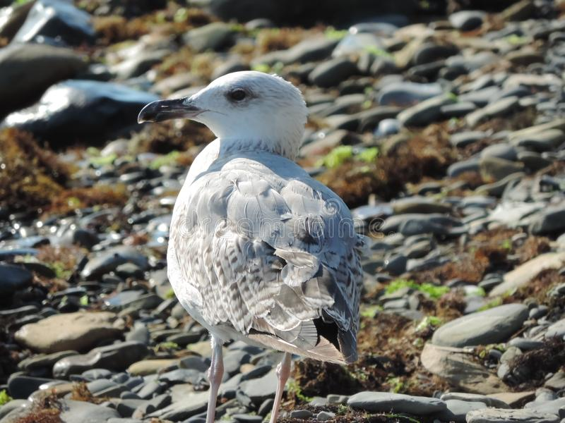 Sea seagull on the stony coast. stock photography