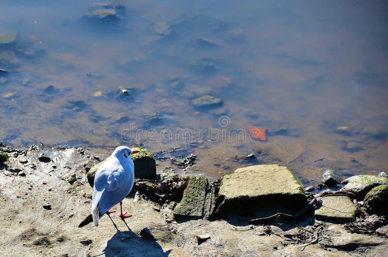 White seagull stock photos
