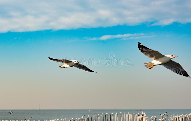 Freedom concept, Two White seagull soaring in the blue sky in Mi royalty free stock photos