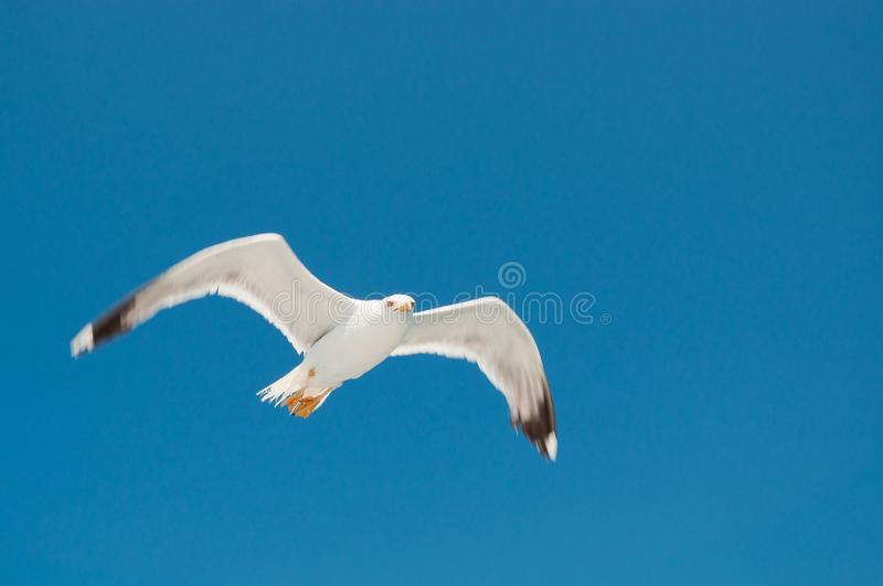 White Seagull with spread wings flying against a blue sky stock images