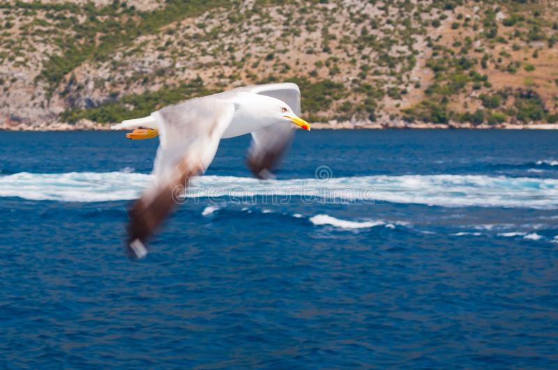 White Seagull with spread wings flying over blue sea in Croatia stock photography
