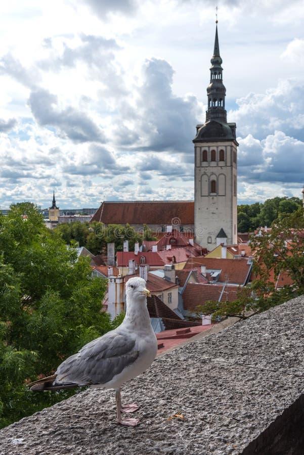 White seagull on the wall with background of Tallinn old town, Estonia. Kohtuotsa viewing platform. royalty free stock image