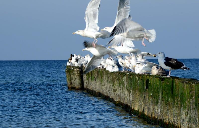 White seagulls starting. Old breakwater. stock photos