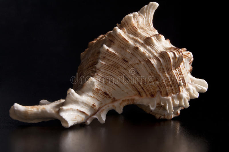 Download White seashell stock image. Image of chicoreus, fossil - 26244235