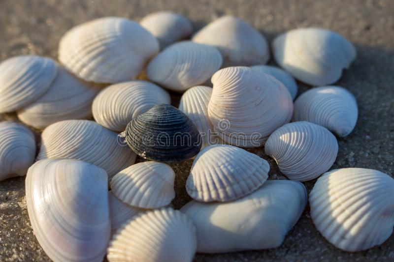 White seashells and one black shell isolated close up. Shells concept. Difference concept. Shells on sea beach. Empty beach with seashells. Tropical travel stock photos