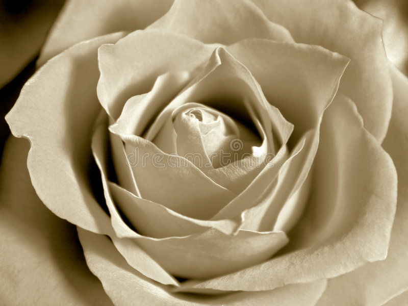 White sepia rose stock photo