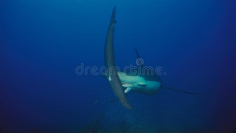 White Shark / Great white shark in the deep blue water stock photography