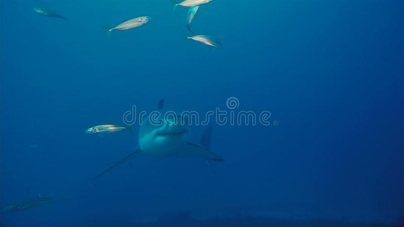 White Shark / Great white shark in the deep blue water royalty free stock images