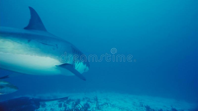 White Shark / Great white shark in the deep blue water stock photos