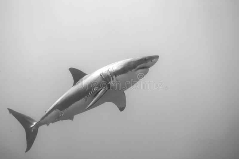 Great white shark. A white shark on the hunt, rising to the surface in it`s search for food stock images