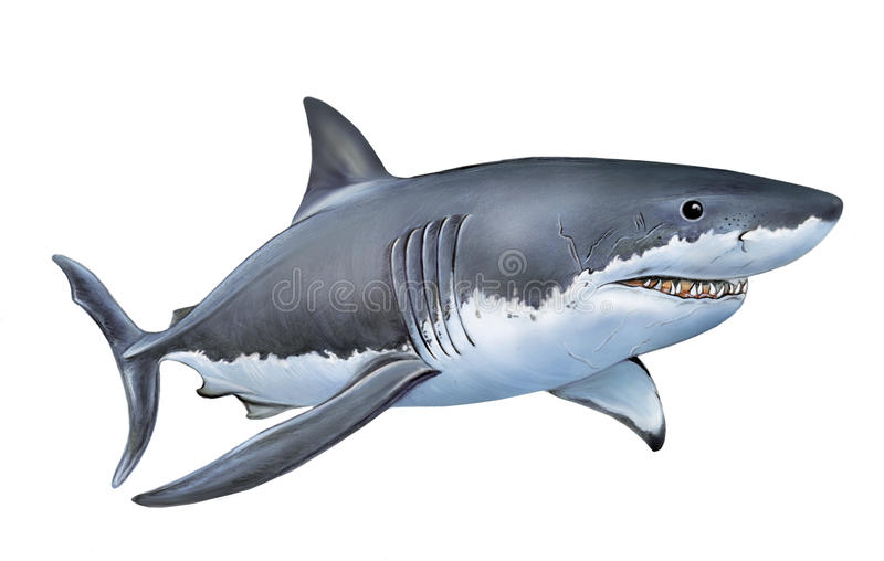 White shark. An illustration of a great white shark Carcharodon carcharias vector illustration