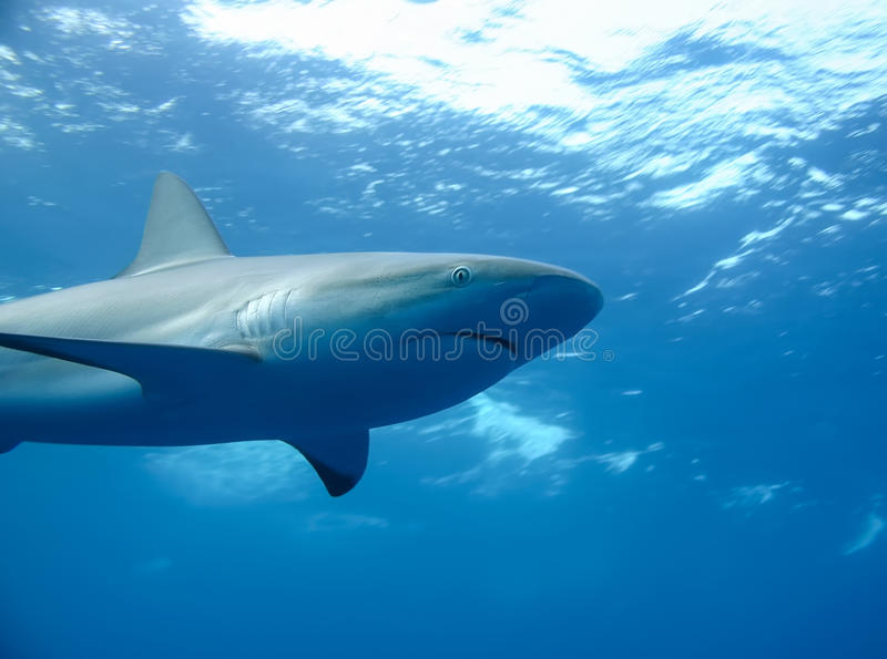 White Shark underwater caribbean sea royalty free stock image