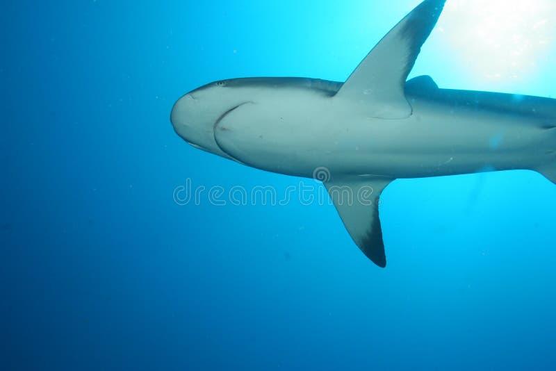 White Shark underwater stock photos