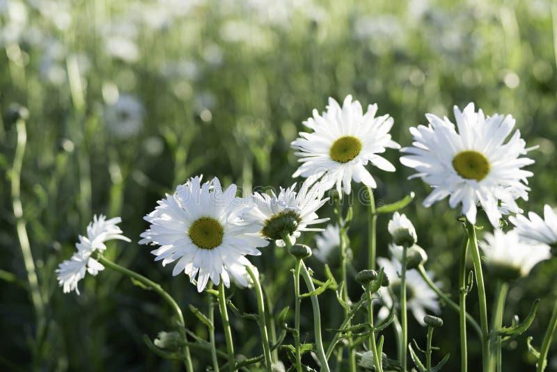 White Shasta Daisy flower meadow in Furano garden , Hokkaido royalty free stock photography